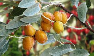 Лох узколистный — Дерево Джида: вся правда о дикой маслине