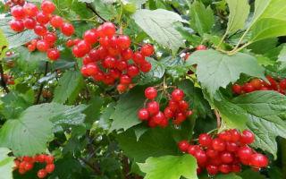 Калина красная: дерево или кустарник?