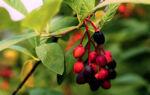 Индианская слива или Эмлерия вишнеподобная