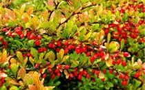 Сорта и виды барбариса ⥁