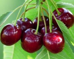 Черешня: ягода или фрукт?