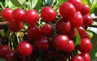 Гибрид черешни и вишни — Дюк ❦