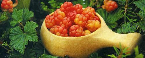 Ягода морошка — Царская ягода Севера