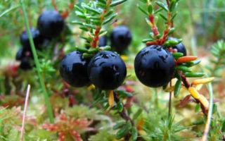 Водяника: полезные свойства медвежьей ягоды