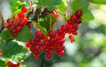 Полезные свойства и противопоказания красной смородины ⥁