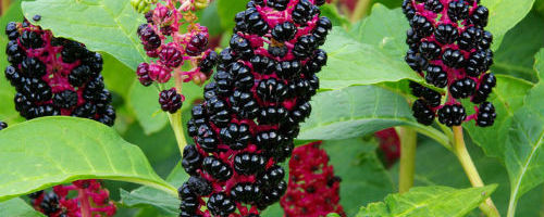 Лаконос — экзотическое растение из Северной Америки ✔