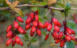 Уникальные свойства ягод барбариса ✔