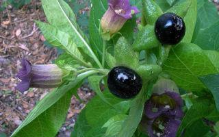 Белладонна (Красавка): лечебные свойства