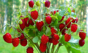 Лесная земляника: все о любимой ягоде