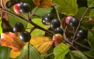 Жостер или крушина ломкая: что это за растение?