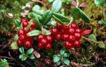 Толокнянка—полезные свойства медвежьей ягоды