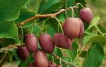 Самые популярные сорта и виды актинидии ✔