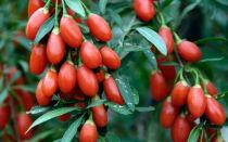 Ягоды годжи: описание, полезные свойства и противопоказания