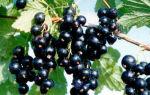 Черная смородина — ягода Царица у вас в саду ♔
