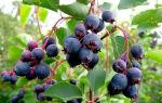 Ирга — описание и полезные свойства ягод