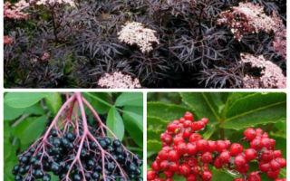 Сорта и виды красной и черной бузины ✔