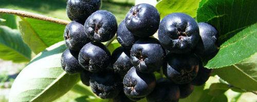 Арония черноплодная — полезная родственница рябины
