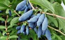 Жимолость — полезные свойства синих ягод