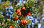 Ягодный тис — разновидность красного дерева