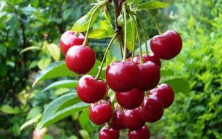 Вишня — ягода или фрукт?
