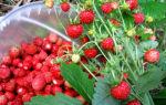 Земляника садовая — лучшие сорта, посадка и уход