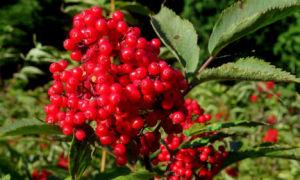 Бузина красная—описание, полезные свойства и противопоказания