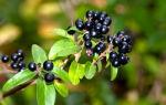 Бирючина обыкновенная — волчья ягода