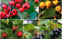 Популярные сорта и виды боярышника ⥁⥁⥁