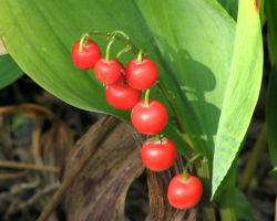 Ландыш майский — опасные ягоды нежного цветка