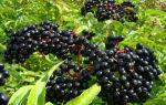 Бузина чёрная: описание, полезные свойства и противопоказания