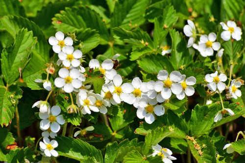 цветение земляники