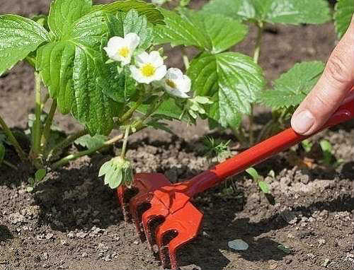 Посадка ягод