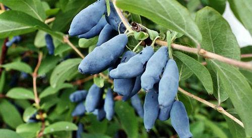 плоды жимолости