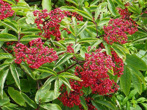 ягоды красной бузины