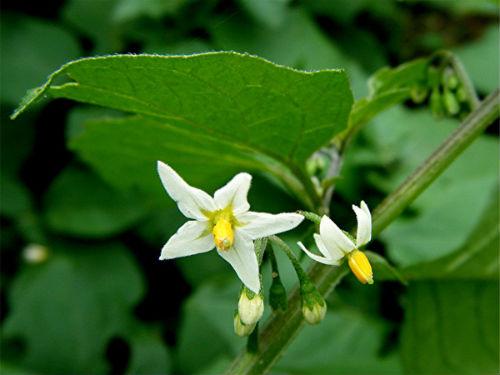 цветы паслена