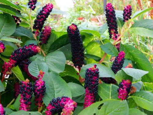 Цветы фитолакка
