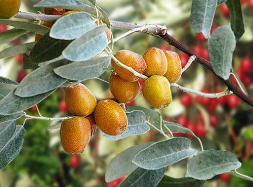 ягоды джиды