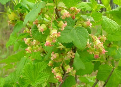 Цветение смородины