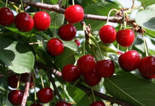 ягоды дюка