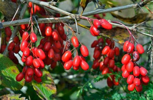 Барбарис обыкновенный - ягоды