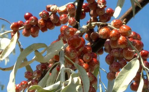 Плоды дикой маслины