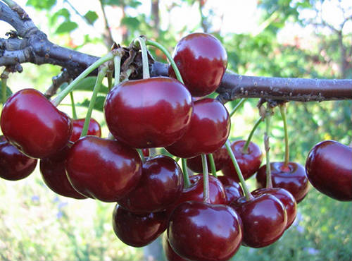 растение вишня
