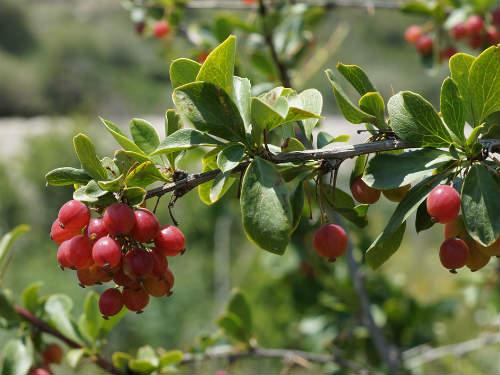 Барбарис шароплодный (разноножковый)