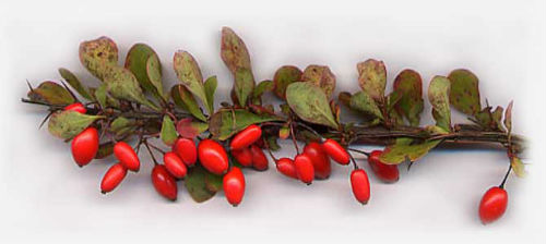 ветки растения