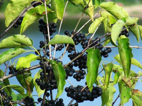 ягоды крушины ломкой