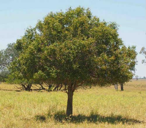 Дерево Джида