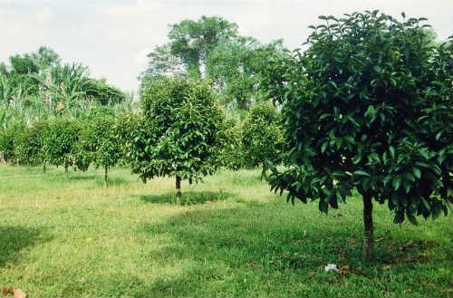 Дерево мангостана