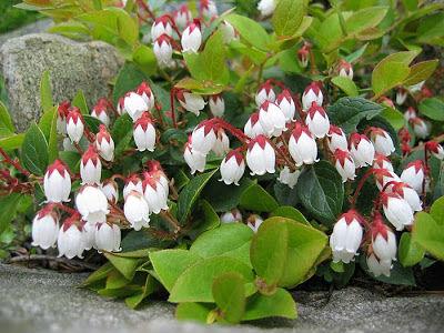 цветение гаультерии