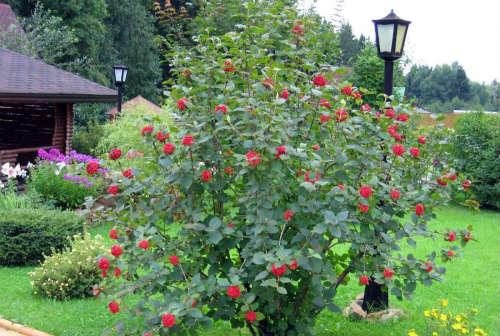 Калина в саду