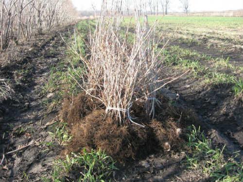 Посадка калины с открытыми корнями